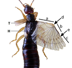 Earwig wing cutted.png