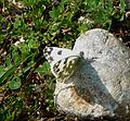 Eastern Bath White. Pontia edusa. Pieridae - Flickr - gailhampshire.jpg