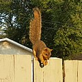 Eastern Fox Squirrel 3.jpg