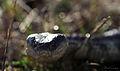 Eastern Tiger Snake (Notechis scutatus) (8636453855).jpg