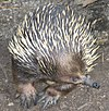 A Short-beaked Echidna at the Melbourne zoo