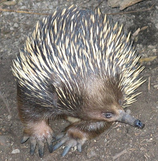 Echidna. Photo Credit: Ester Inbar