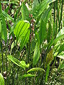 Echinodorus paniculatus1.jpg
