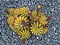 Echinopsis calochlora - Kew Gardens 2.jpg