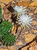 Echinopsis mamillosa var. kermesina - Wilhelma.jpg