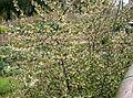 Elaeagnus multiflora2.jpg
