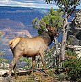 Elk Grand Canyon NatPark.jpg
