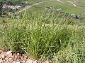 Elymus trachycaulus (3822596680).jpg