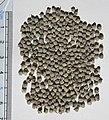 Engelhardia spicata seeds II, by Omar Hoftun.jpg