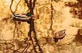 Ente und Erpel im Gold.jpg