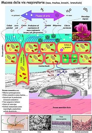 Mucosa delle vie respiratorie