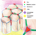 Epithelium TCJ.png