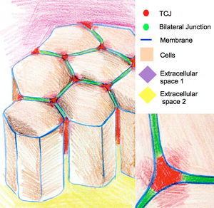 Cell junction - The cartoon of epithelium cells connected by tri-cellular-junctions (TCJ) at the regions where three cells meet.