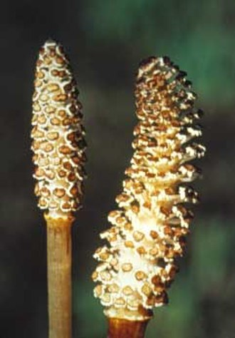 Elater - The mature strobili of a horsetail (Equisetum arvense).