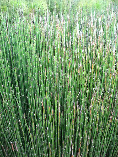 Fichier:Equisetum hyemale 02 by Line1.jpg