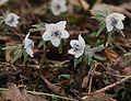 Eranthis pinnatifida (Mount Ibuki).jpg