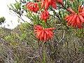 Erica mammosa red IMG 7348.jpg