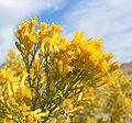 Ericameria paniculata 3.jpg