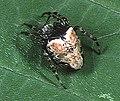 Eriophora.sagana.female.1.-.tanikawa.jpg