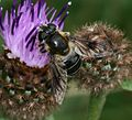 Eristalis rupium (female) - Flickr - S. Rae (4).jpg