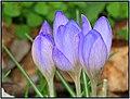 Erste Krokus - Spring is coming (24592529883).jpg