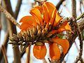 Erythrina caffra, bloeiwyse, b, Pretoria.jpg