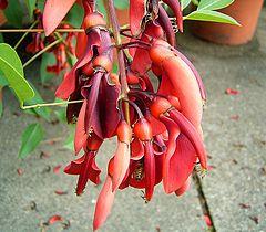 Erythrina crista-galli 04 ies.jpg