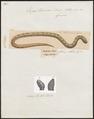 Eryx turcicus - 1700-1880 - Print - Iconographia Zoologica - Special Collections University of Amsterdam - UBA01 IZ11900107.tif