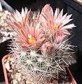 Escobaria guadalupensis SB910 DSC 0414.jpg