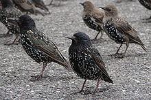 Several black glossy birds with spots stand on the paved ground