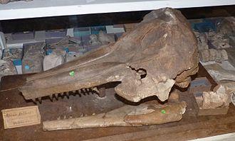 Oceanic dolphin - Etruridelphis giulii skull in Bologna