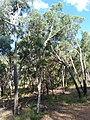 Eucalyptus mannifera 1.jpg