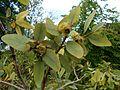 Eucalyptus preissiana 2017-05-23 1137.jpg