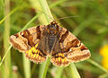 Euclidia glyphica, Burnet Companion, Sealand Ranges, North Wales, May 2012 (21027370979).jpg