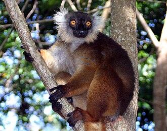 Black lemur - Image: Eulemur macaco female 01