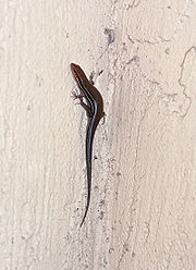 Eumeces inexpectatus Five-lined Skink.jpg
