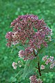 Eupatorium dubium 'Little Joe' Side.jpg