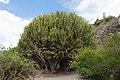 Euphorbia candelabrum 005.jpg
