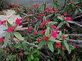 Euphorbia milii var. splendens - Kew Gardens.JPG