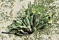 Euphorbia paralias - Sea spurge - Kum sütleğeni 09.jpg