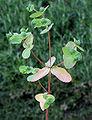 Euphorbiaspathulata.jpg
