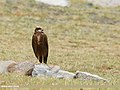 Eurasian Marsh Harrier (Circus aeruginosus) (50792373951).jpg