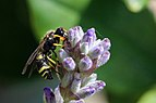 European potter wasp (Ancistrocerus gazella).jpg