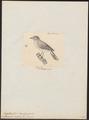 Euscarthmus eximius - 1700-1880 - Print - Iconographia Zoologica - Special Collections University of Amsterdam - UBA01 IZ16500289.tif
