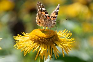 Butterfly on flower with fake eyes on the wings