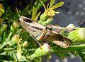 Eyprepocnemis plorans - Flickr - gailhampshire (1).jpg