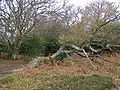 Fallen oak on the edge of Stonard Wood, New Forest - geograph.org.uk - 292307.jpg