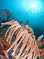 Fans Atlantis reef WEB.jpg