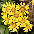 Farfugium japonicum (flower).jpg