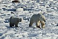 Fedora the polar bear and her cub (6376547399).jpg